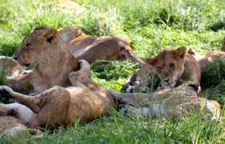 safari barnhem